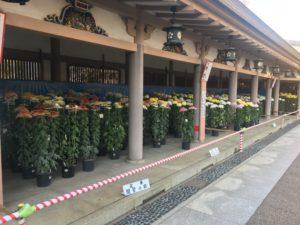 文京花の五大まつりの一つ、湯島天満宮菊まつり開催